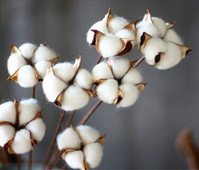 Wholesale dried cotton stems real cotton boll for home decor