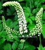 2.5% Triterpene Extract of Black Cohosh