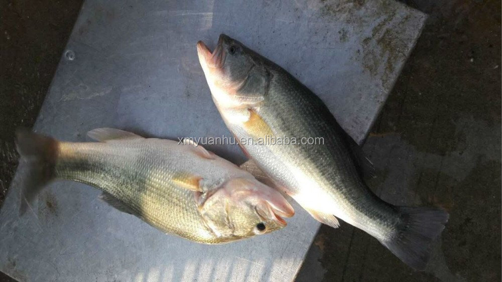 frozen black bass whole round (Micropterus salmonides)