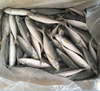 IQF Purse Seine horse mackerel for market sale