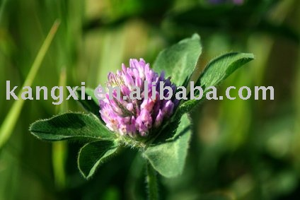 factory supply 100% NATURAL RED CLOVER P.E. HIGH QUALITY