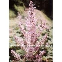 India Exporter Clary sage