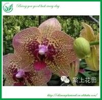 Living Orchids Plants