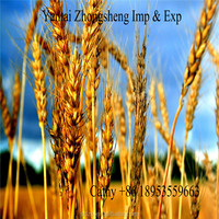 Ukraine wheat for animal feed/ feed wheat,big quantity good price