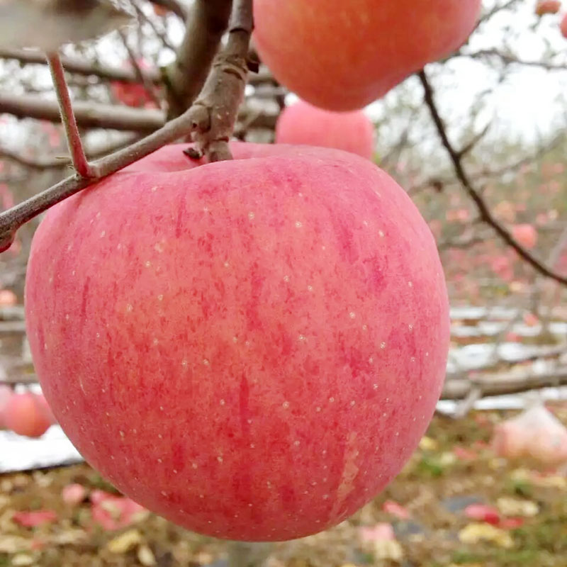 Fresh red fuji apple