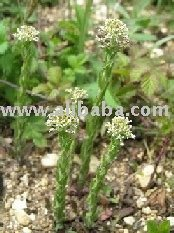 Pepperwort root, nifoncy xx root, Lepidium sativum