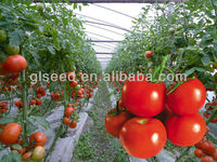Huahong f1 hybrid greenhouse tomato seeds in agriculture