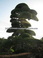 Japanese garden tools trees and plants podocarpus macrophyllus , maki , Japanese maple , momiji