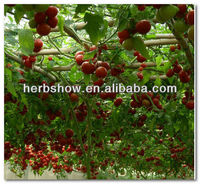 F1 Hybrid Tomato Tree Seeds-Continuous Setting Fruits