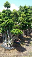 Old live ficus big tree from China for outdoor decoration