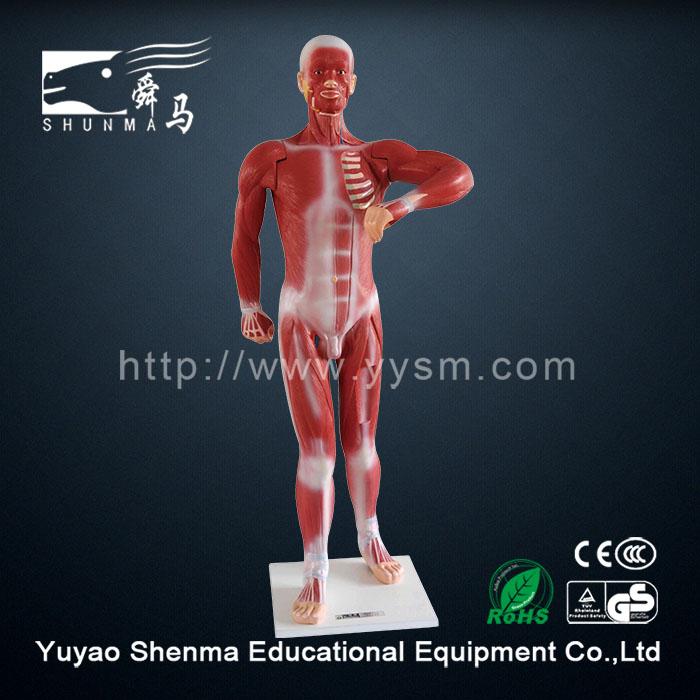 Human Body Anatomy Model Medical Teaching 3d Muscle Anatomy Model