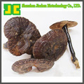High quality Ganoderma Extract