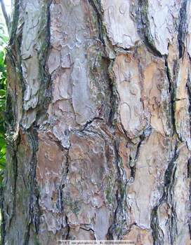 TOP quality Pine Bark Extract
