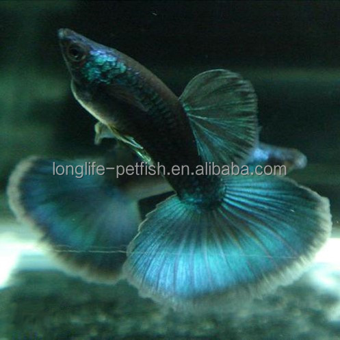 Offering Beautiful Freshwater Tropical Dark Blue Moscow Guppy Fish For Sale