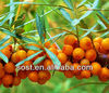 Chinese herbal medicine Seabuckthorn fruit Extract Fructus Hippophae Extract