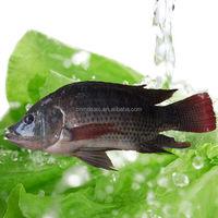 Export tilapia fish from China
