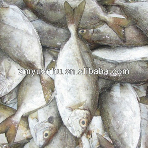 Frozen Rabbit Fish Exporters