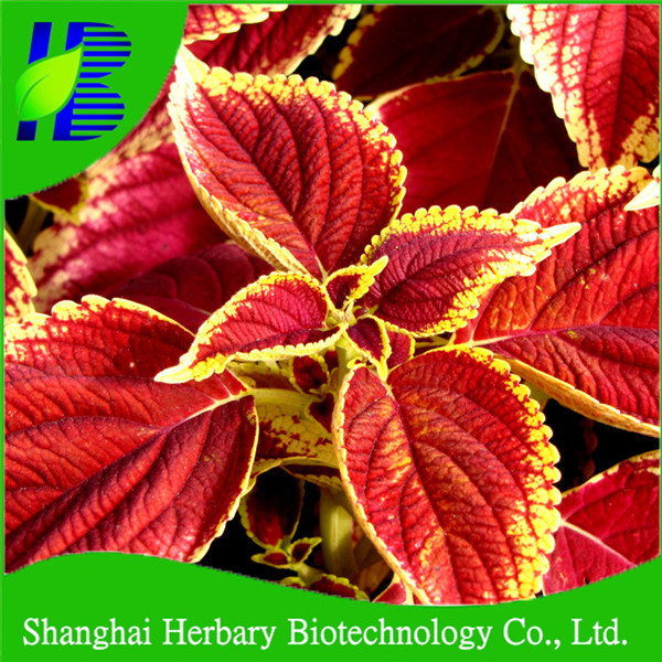Hybrid flower Coleus seeds