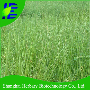 2018 fresh vetiver seedlings with good adaptability to different environment