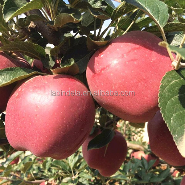 Wholesale prices apple fruit import from china red star apple
