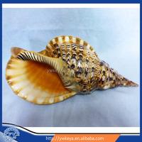 Poweful Buddhism Talisman Amulets Trumpet Triton conch natural craft big size 17