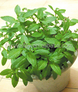 Sale good quality Lemon Balm seeds/Melissa Officinalis seeds for planting