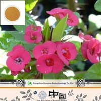 high quality flower extract of crown of thorns/holy thorn extract/crown of thorns extract