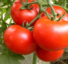 Red hybrid tomato seeds for sale