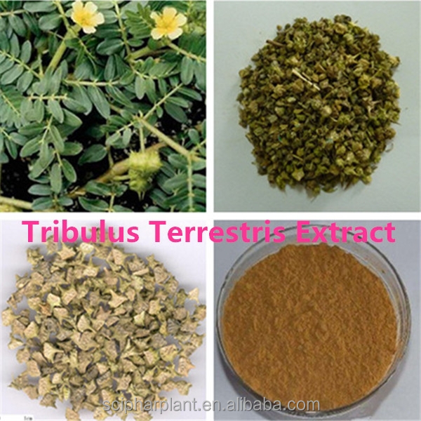 Factory supply organic plant extract tribulus terrestris