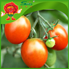 Free of contamination fresh cherry tomatoes for sale