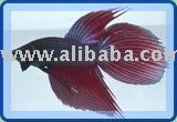Betta Splendens fish