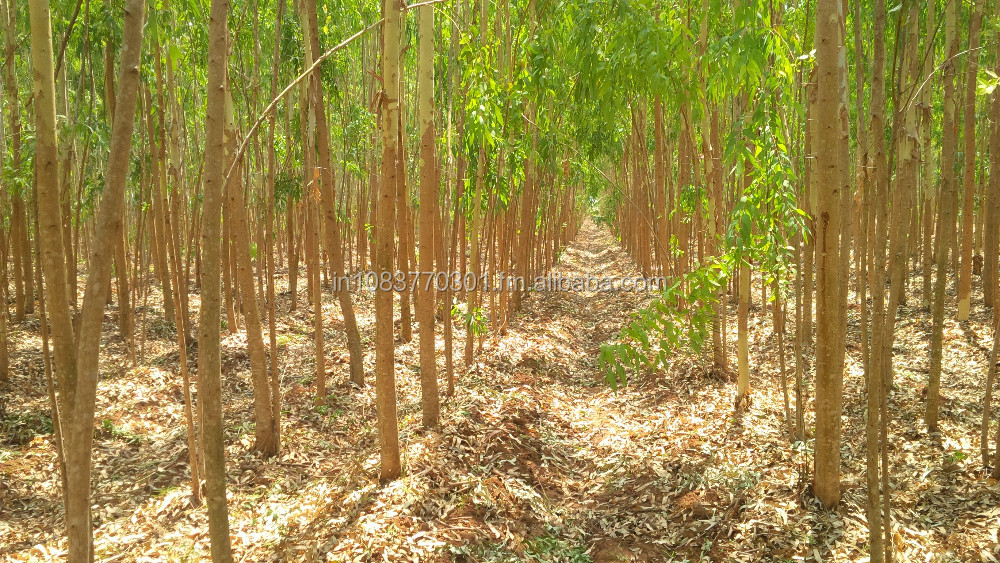 Eucalyptus ,Casuarina and Acacia Logs for Construction and paper pulp