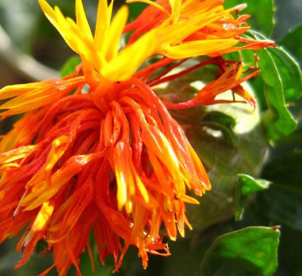 Pharmaceutical Ingredient Safflower Extract
