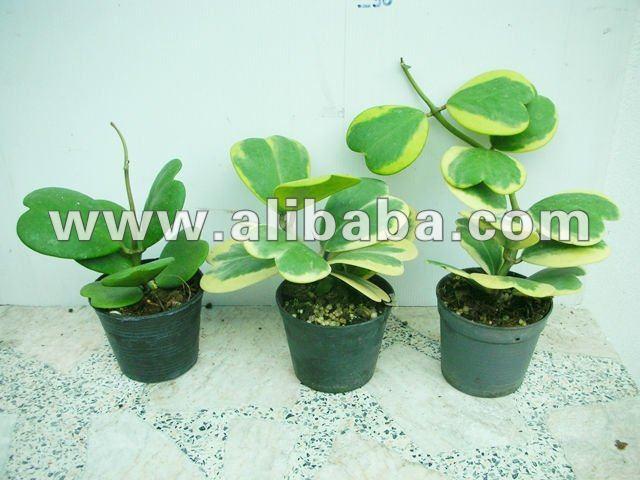 hoya kerrii plantes usines bois es id de produit 124912490. Black Bedroom Furniture Sets. Home Design Ideas