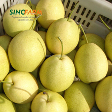 Shandong Pear Cheap Price from Pear Factory