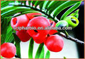 Pure natural Taxus extract with Paclitaxel