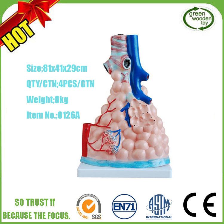 Enseñanza Médica Tipo De Simulación Plástico 3d Anatomía Humana ...