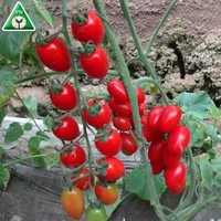 Red Shape Vegetable Hybrid F1 Organic Cherry Tomato Seeds