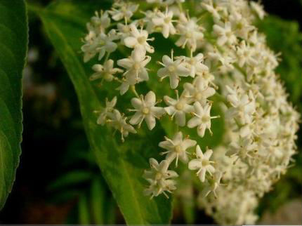100% Natural ELDER FLOWERS EXTRACT