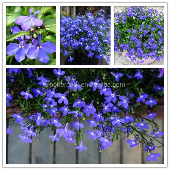 Lobelia Erinuslobelia Seeds For Gardens Buy Agriculture