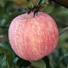 china 2015 fuji apples wholesale fruit prices
