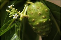 Morinda Citrifolia Extract/High Quality Morinda Citrifolia Extract from GMP Supplier