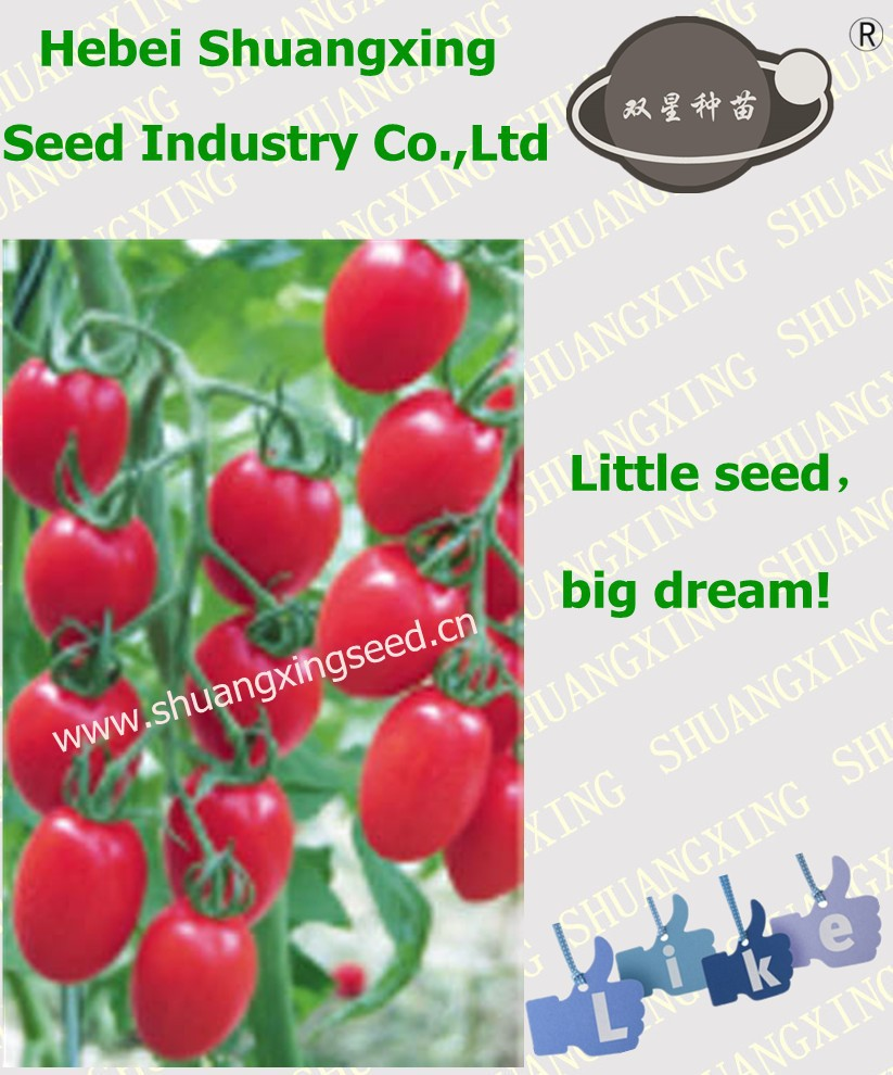 Hybrid best seeds tomato with good price