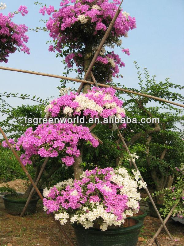 Spectabilis bouganville piante di fioritura id prodotto for Bouganville fioritura