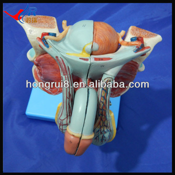 ISO Advanced Anatomical Model of male genital organs