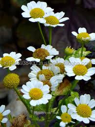 100% Natural Chamomile/Roman Chamomile/ German Chamomile Essential Oil By 2014 Best leading Supplier/Exporter