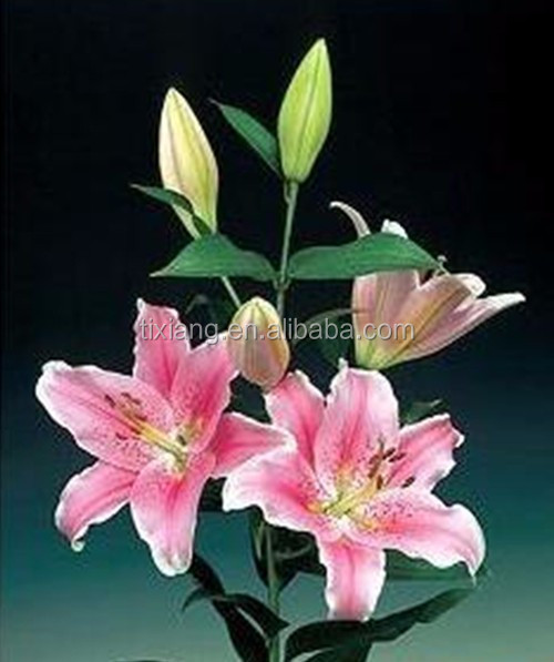 Oriental colorful lilium directly order from Alibaba