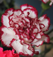 2016 high quality smiling face carnation flowers; supply the highest quality from kunming,yunnan