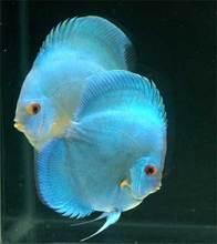 Promozione blu pesci discus shopping online per blu pesci for Vendita discus online