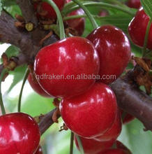 100% Natural 17% 25% Vitamin C Acerola Cherry Extract